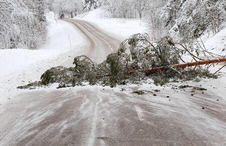 blocking: A fallen pine tree blocking the road i a winter scenery.