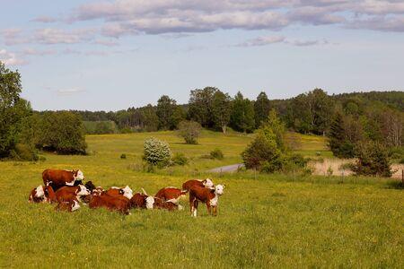 Eine Gruppe Kühe auf einem grünen frischen Gebiet. Standard-Bild