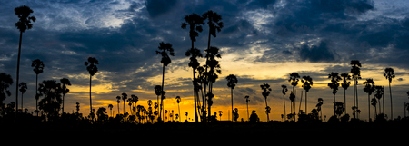 silhouette line of plam tree, toddy palm tree