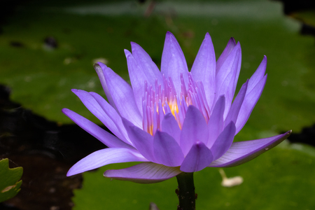 close up photography of purple waterlily in the pond