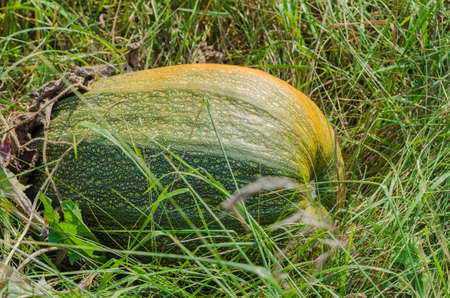 on the field harvest orange and green large pumpkin in the grass Stock Photo