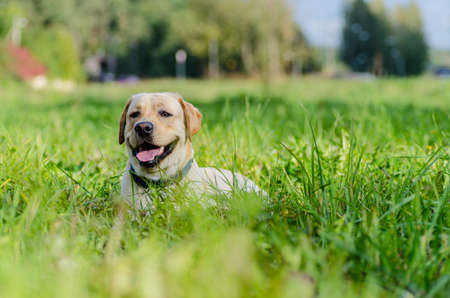 labrador teeth: very cute young purebred labrador dog with beautiful brown white fur with brown eyes, ears, big head mouth teeth happily walking in the park on a nice sunny weather outdoors Stock Photo