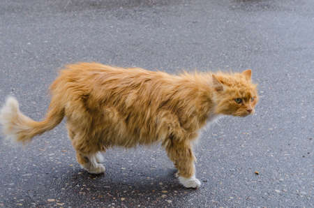 uncombed: A cat with a red fur walking along the street, hurrying about