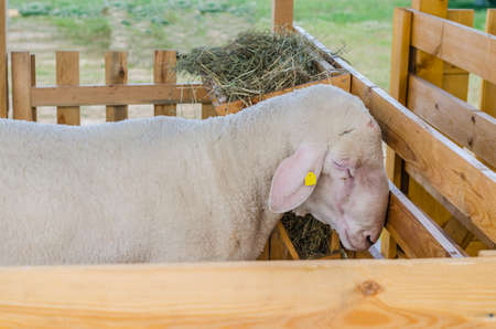 Beautiful sheep rest and eat on the farm, have a good and useful for human hair Stok Fotoğraf