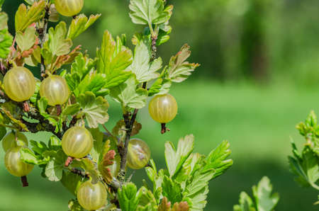 Een struik van rijpe geelgroene bessen van kruisbes met een geweldige smaak, groeit in de zomer in de tuin. Stockfoto