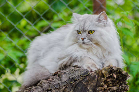 A gray cat with beautiful hair and intelligent eyes, walks in the open air catches birds.