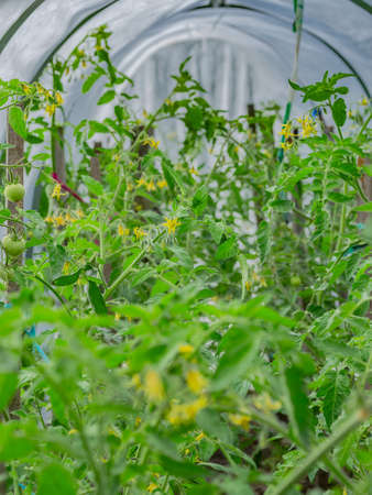 Green tomatoes grow and mature in the garden on the farm, a common, tasty, indispensable product for humans.