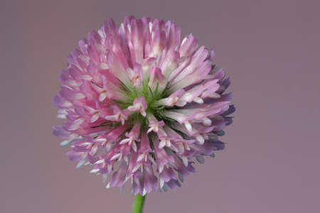 trifolium: A detail of a red clover, Trifolium pratense, on a purple background