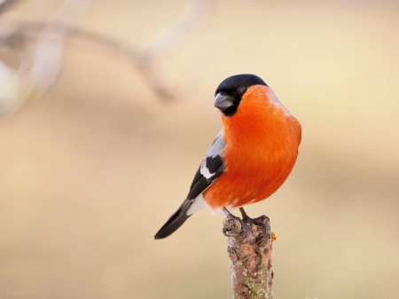 The bird bullfinch male sits on branch of a tree