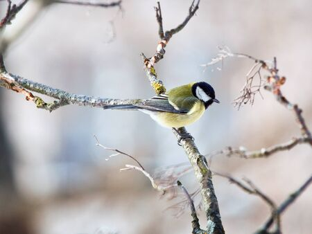 The big titmouse sits on a tree branch in winter day photo