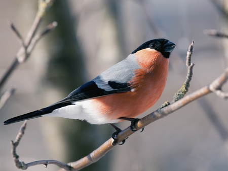 The male a bullfinch sits on a mountain ash branch photo