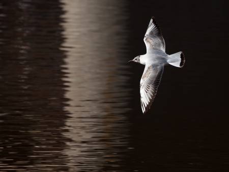 Young bird white seagull flies with spread wings over surface of dark water in early spring photo