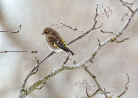 greenfinch: The greenfinch sits on a mountain ash branch in rainy winter day Stock Photo