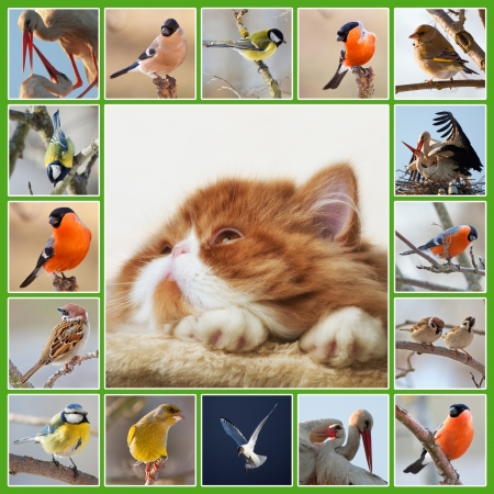 Collage with image of muzzle red Persian kitten and different birds photo