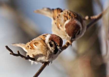 The bird sparrow sits on a mountain ash branch in winter day photo