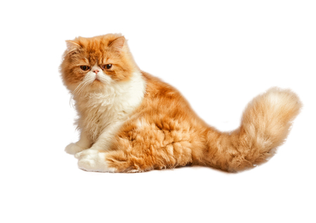 House Persian kitten of a red and white color isolated on simple background Stock Photo