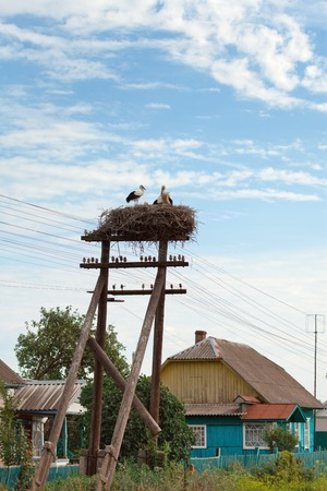 The white stork young baby birds costs in a big nest from rods photo