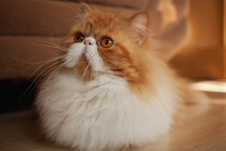 persian cat: House Persian kitten of a red and white color on simple background Stock Photo
