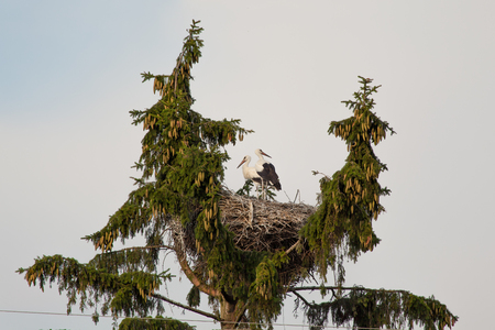 doubled: Couple of white storks in a nest on the doubled fir-tree Stock Photo