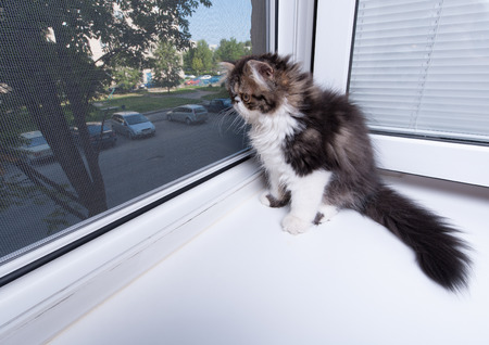 kitten small white: Persian kitten of dark coloring sits about a window