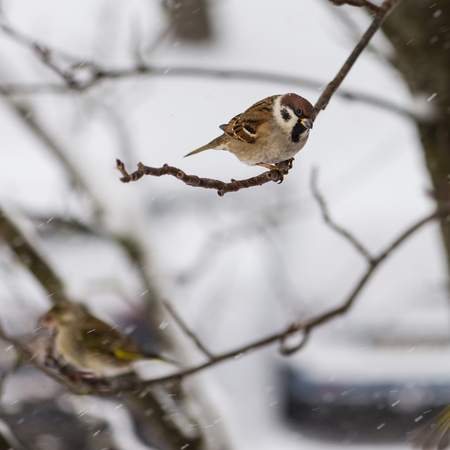 The bird a sparrow sits on  mountain ash branch against the background of the flying snowflakes Фото со стока