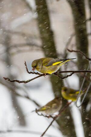 Птица зеленоватня самец сидит на ветке рябины на фоне падающих снежинок