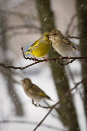 Couple of birds  greenfinches a female and  male sit on  mountain ash branch against the background  the falling snowflakes