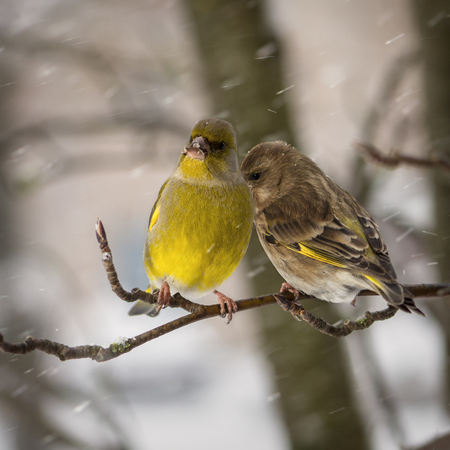 Two birds of a greenfinch  female and  male sit on  mountain ash branch against the background  the falling snowflakes