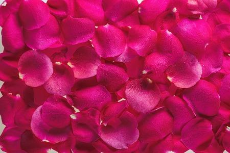 Фон из лепестков великолепных свежих роз с каплями росы