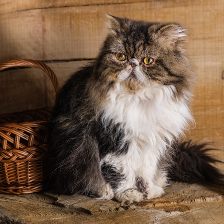 Young magnificent cat of the Persian breed near a basket against the background of in style a rustic