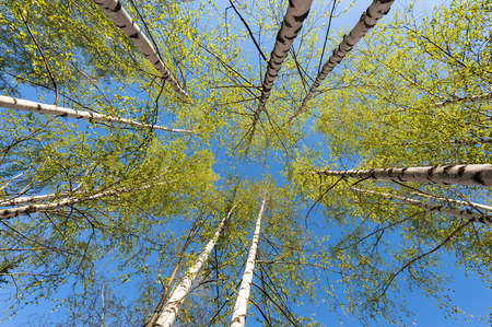 Thin trunks of silver birches with fresh green foliage against the background of the blue sky Фото со стока
