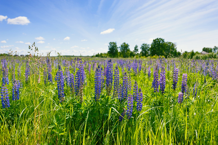 Сиреневые люпины в зеленой траве на фоне голубого неба с белыми облаками