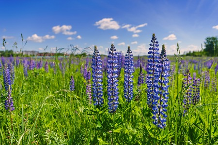 Beautiful violet lupines in a bright green grass against the background of the blue sky with white clouds in sunny day