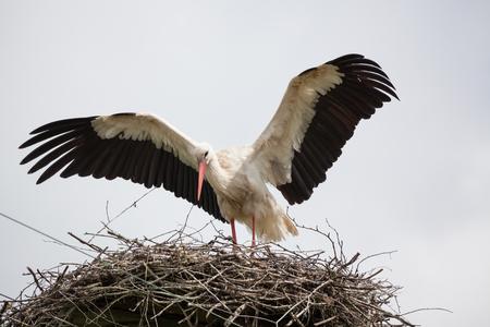 Взрослый белый аист в гнезде поднял крылья