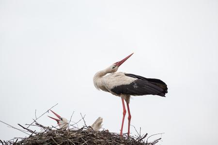 Взрослый белый аист в гнезде отнял голову