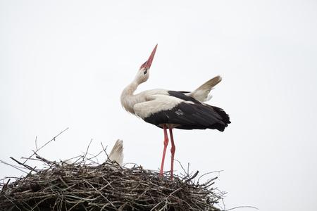 Взрослый белый аист в гнезде поднял голову Фото со стока