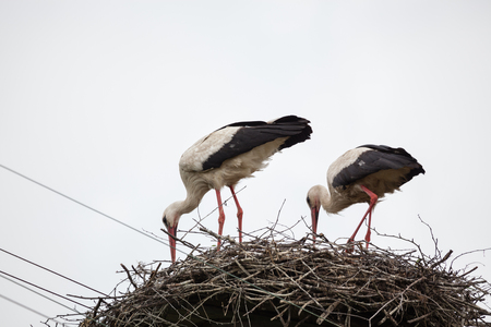 Two adult white storks in the slot synchronously tilted the heads