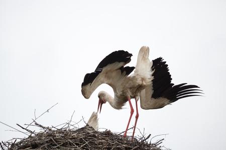 Взрослый белый аист в гнезде наклонил голову и поднял крылья