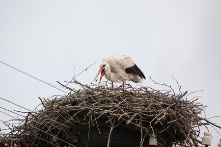 Взрослый белый аист в гнезде ловит клюв корней