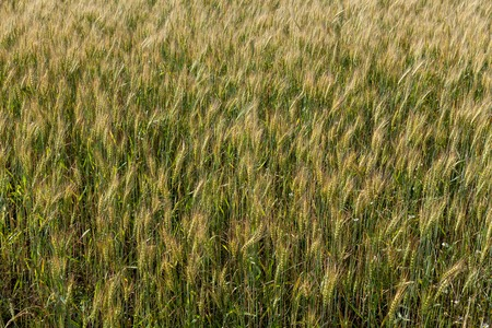 Background from ripe ears of barley in the field in the summer