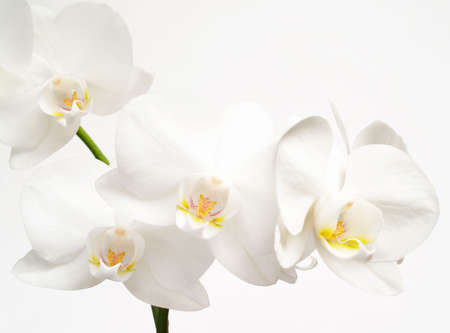 white orchid: White orchids fower on white  background