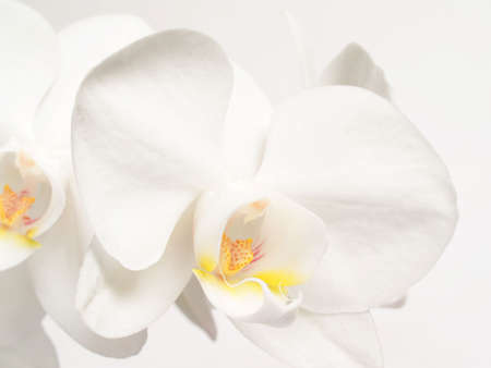 orchids: White orchids fower on white  background