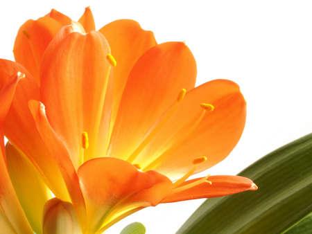 kaffir: kaffir lily on white background