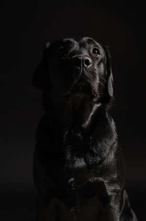 te negro: Emplazamiento negro labrador retriever. perro esperando. Foto de archivo