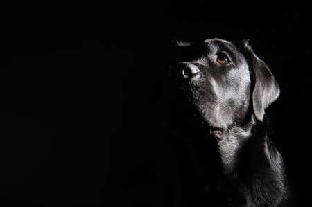 perro labrador: Cabeza de negro labrador retriever. perro esperando