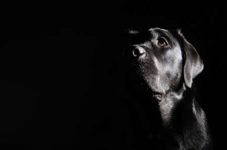 black dog: Head of black labrador retriever. dog waiting for you