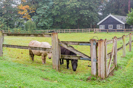 One white and one black pony between the wooden fences on an equestrian farm, day at the beginning of the autumn in the province of Noord-Brabant, the Netherlands Holland Banque d'images