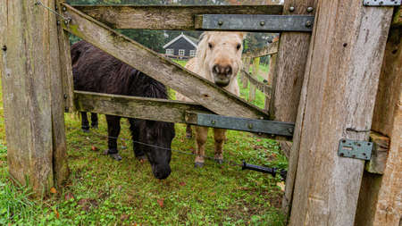 Two ponies seen through a wooden fence gate on an equestrian farm, day at the beginning of the autumn in the province of Noord-Brabant, the Netherlands Holland Banque d'images