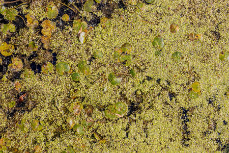 Close-up of algal bloom and aquatic plants on the surface of the water of a pond, eutrophication caused by excessive growth of algae, sunny summer day
