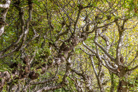 Close-up of twisted thick and thin branches with green leaves of old tree hedges forming a tunnel, mysterious sunny summer day to awaken the imagination in a nature reserve enjoying nature
